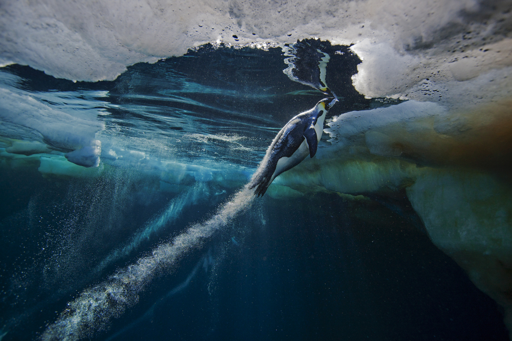 pinguino imperatore sotto il mare artico paul nicklen grandi fotografi national geographic