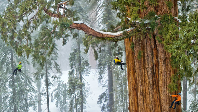 sequoia climbing michael nick nichols - grandi fotografi national geographic