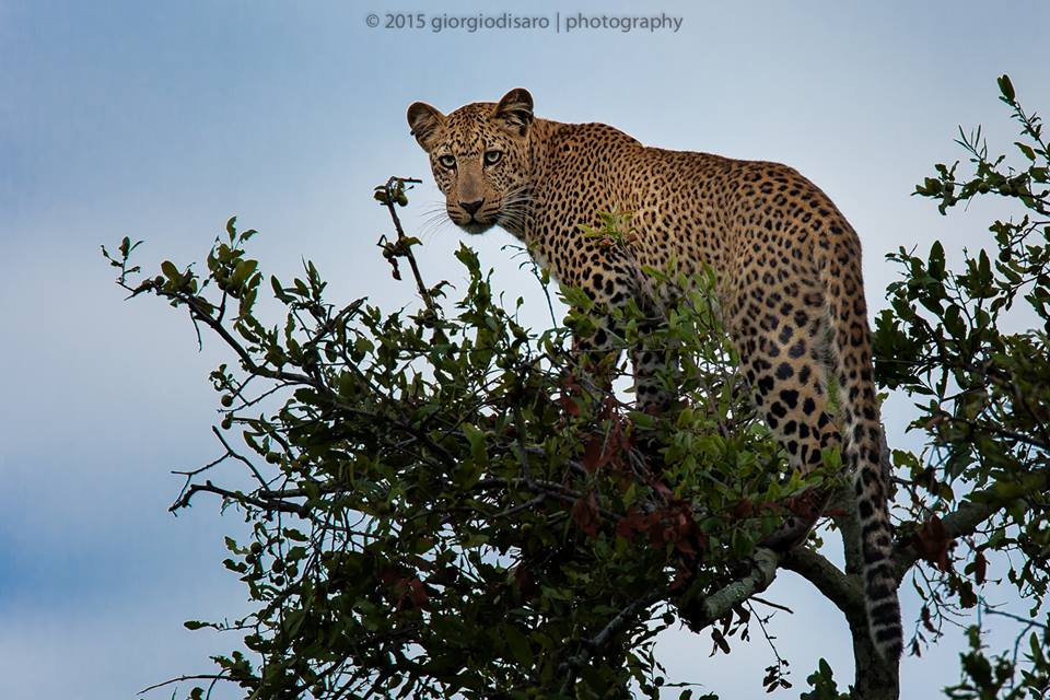 Foto di un leopardo in natura, South Luangwa